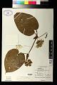 View Passiflora ligularis Juss. digital asset number 1