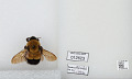 View Bombus (Bombus) affinis Cresson digital asset number 1