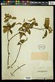 View Croton cortesianus Kunth digital asset number 1