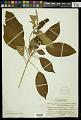 View Croton glandulosepalus Millsp. digital asset number 1