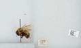 View Bombus (Pyrobombus) hypnorum callidus Erichson digital asset number 1
