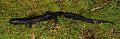 View Plethodon metcalfi digital asset number 0