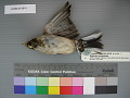 View Emberiza schoeniclus digital asset number 0