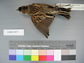 View Emberiza schoeniclus digital asset number 1