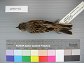 View Emberiza fucata digital asset number 1