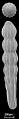 View Chrysalogonium breviloculum Cushman & Jarvis, 1934 digital asset number 0