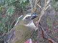 View Saltator albicollis striatipectus digital asset number 1