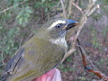 View Saltator albicollis striatipectus digital asset number 0