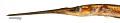 View Potamorrhaphis guianensis digital asset number 1