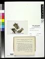View Cladonia libifera Savicz digital asset number 0