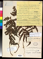 View Tectaria dissecta (G. Forst.) Lellinger digital asset number 0