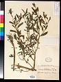 View Reichelia palustris Blanco digital asset number 0