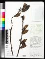 View Dimorphanthera kempteriana Schltr. digital asset number 0