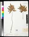 View Dryopteris concolor var. typica (Langsd. & Fisch.) Kuhn digital asset number 0