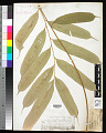 View Coniogramme macrophylla (Blume) Hieron. digital asset number 0