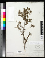 View Ludwigia leptocarpa (Nutt.) H. Hara digital asset number 0