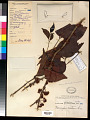 View Memecylon edule var. ovatum (A.J.E. Sm.) C.B. Clarke digital asset number 0