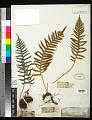 View Polypodium glycyrrhiza D.C. Eaton digital asset number 0