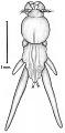 View Lernanthropus obscurus Wilson, 1913 digital asset number 1