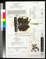 View Cetraria aculeata (Schreb.) Fr. digital asset number 0