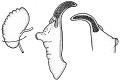 View Pyrgulopsis falciglans Hershler et al., 2003 digital asset number 1
