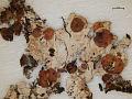 View Ahtiana sphaerosporella (Müll. Arg.) Goward digital asset number 2