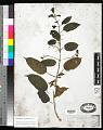 View Clerodendrum laevifolium Blume digital asset number 0