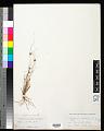 View Cyperus gracilis R. Br. digital asset number 0