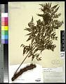 View Polybotrya speciosa Schott digital asset number 0