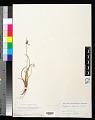 View Cyperus eragrostis Lam. digital asset number 0