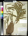 View Drynaria rigidula (Sw.) Bedd. digital asset number 0