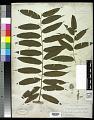 View Cyathea corcovadensis (Raddi) Domin digital asset number 0