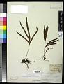View Pleopeltis pleopeltifolia (Raddi) Alston digital asset number 0