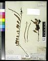 View Pyrrosia lanceolata (L.) Farw. digital asset number 0