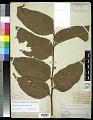 View Aglaomorpha speciosa (Blume) M.C. Roos digital asset number 0