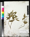 View Brunfelsia brasiliensis (C.K. Spreng.) L.B. Sm. & Downs digital asset number 0