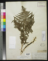 View Pteridium aquilinum var. typicum R.M. Tryon digital asset number 0
