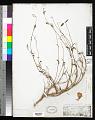 View Clarkia tenella subsp. tenuifolia (Cav.) D.M. Moore & H. Lewis digital asset number 0