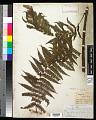 View Cyathea microdonta (Desv.) Domin digital asset number 0