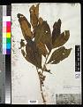 View Henriettea succosa (Aubl.) DC. digital asset number 0