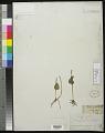 View Ophioglossum vulgatum L. digital asset number 0