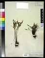 View Myriopteris gracillima (D.C. Eaton) J. Sm. digital asset number 0