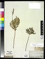 View Botrychium virginianum (L.) Sw. digital asset number 0
