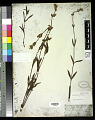 View Tibouchina gracilis (Bonpl.) Cogn. digital asset number 0