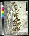 View Tibouchina herbacea (DC.) Cogn. digital asset number 0