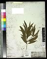View Ossaea angustifolia Triana digital asset number 0