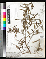 View Ludwigia octovalvis (Jacq.) P.H. Raven digital asset number 0