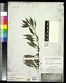 View Ludwigia prostrata Roxb. digital asset number 0