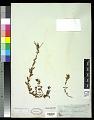 View Epilobium billardierianum Ser. subsp. billardierianum digital asset number 0