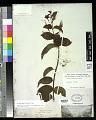 View Fuchsia regia (Vell.) Munz subsp. regia digital asset number 0
